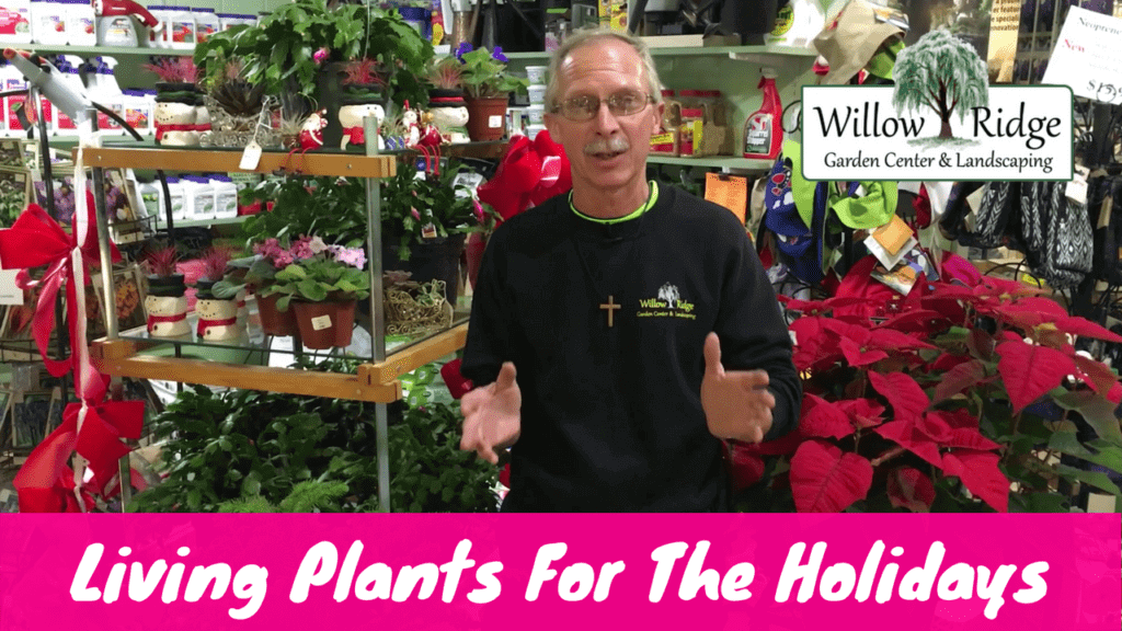 living holiday plants