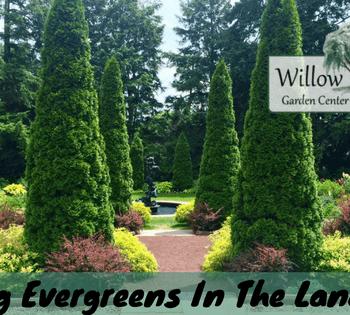 placing evergreens
