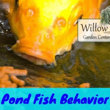 pond fish behavior
