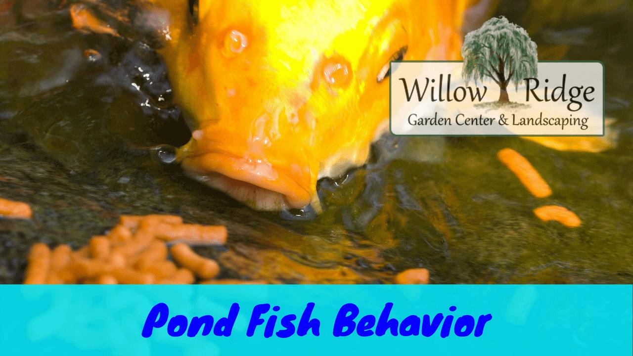 pond fish behavior