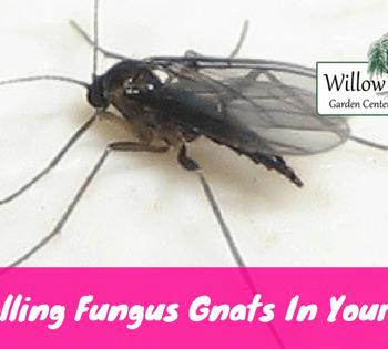 controlling fungus gnats