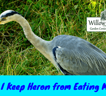 keep heron from eating my fish