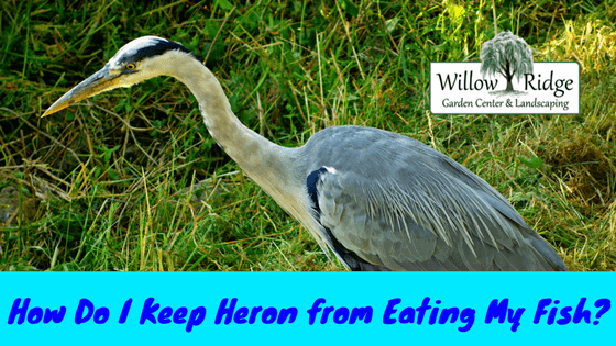 keep heron from eating my fish