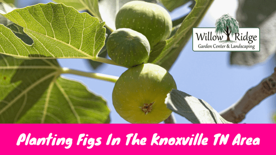 planting figs