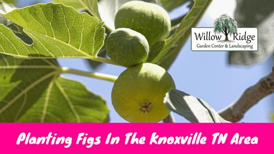 planting figs
